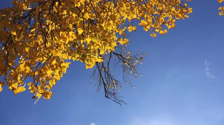 проливая : Under the deciduous autumn treetop, shedding leaves falling from the branches.