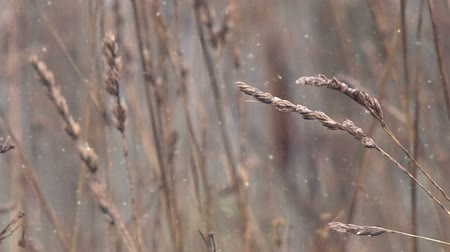 сухой : Dry winter grass in snow swaying on wind in open field, abstract close up footage