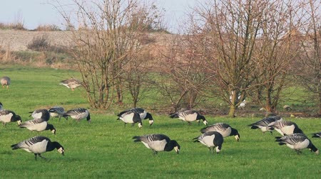 kullancs : Large group of barnacle geese birds feeding on grass field