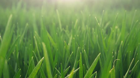 cultivar : Cultivated field of young green wheat in the morning, close up footage of growing plants with sunlight flare.