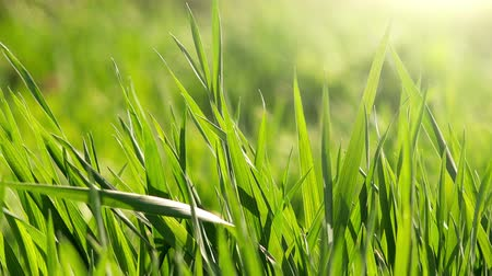 esinti : Green grass and sunlight, morning spring breeze Stok Video