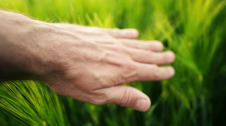 çiftçi : Farmer touching green wheat plants in irrigated cultivated field, hand over crops, sunlight in background, handheld camera motion following hand, selective focus Stok Video
