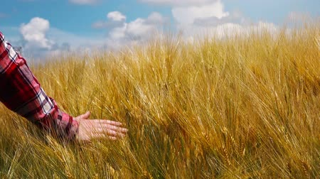çiftçi : Hand in barley field, farmer walking through cultivated plantation and touching cereal crops. Stok Video