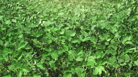 sojový : Soybean crops cultivated field on windy day, plants leaves swaying