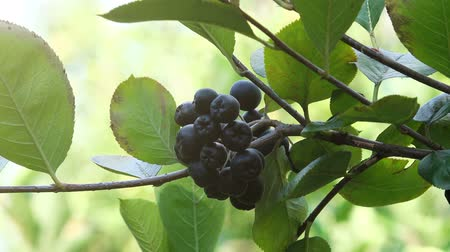 fruitful : Aronia berry fruitful branch in the orchard