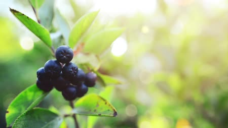 fruitful : Fruitful aronia berry branch against sunlight in the orchard Stock Footage