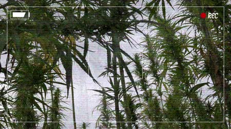 evidência : Fake police camera low quality footage of illegal marijuana plantation, recording frame added in post production