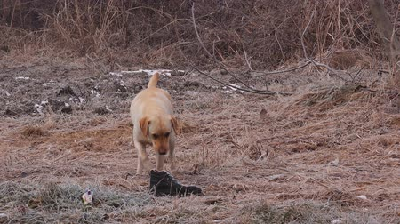 disobedient : Cute labrador retriever male dog playing with old worn shoe outdoors on a cold winter day