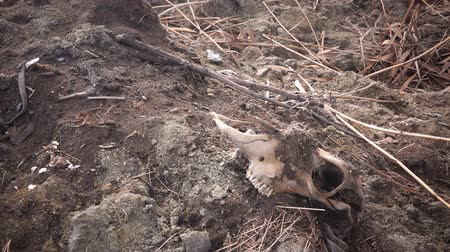 распад : Dead cow skull in deserted outdoors covered with dirt