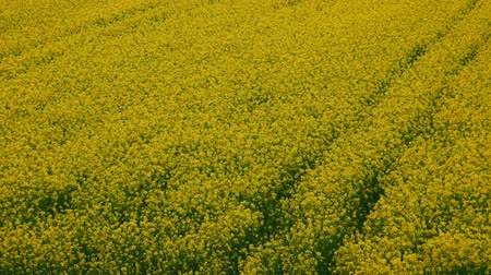 sürdürülebilir : Static aerial view of cultivated rapeseed field with flowers Stok Video