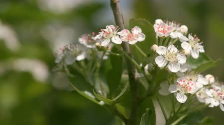 mürver : Blossom of Aronia melanocarpa branches in fruit orchard Stok Video