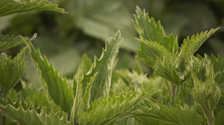 ısırgan otu : Stinging nettle plants in field swaying in the wind
