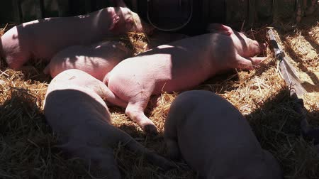 навес : young pigs sleeping after sucking in shed, piglets in barn hay
