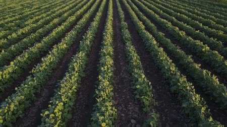 sojový : Drone footage of cultivated agricultural soybean or soya bean field