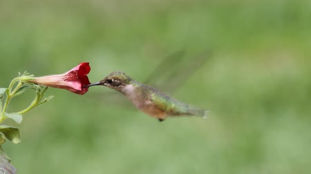 birds flying : Juvenile Ruby-throated Hummingbird (archilochus colubris) in flight with a flower