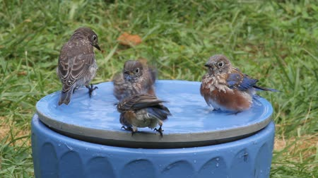bird family : Family of Eastern Bluebird (Sialia sialis) in a bird bath on a hot summer day