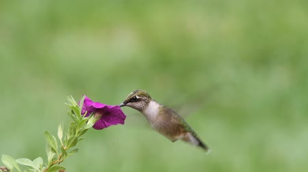 rubi : Juvenile Ruby-throated Hummingbird (archilochus colubris) in flight with a flower