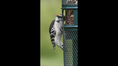 downy woodpecker : Downy Woodpecker (Picoides pubescens) on a Feeder