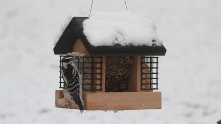 ave canora : Downy and Hairy Woodpeckers on a snow-covered feeder during a snow storm Vídeos