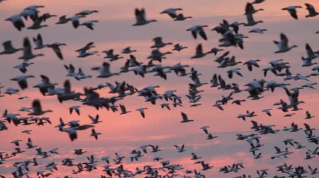 птица : Snow Geese (chen caerulescens) and Ross Goose (C rossii) flying in front of the setting sun Стоковые видеозаписи