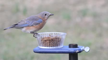 ave canora : Eastern Bluebird (Sialia sialis) on a feeder eating mealworms from a cup Vídeos