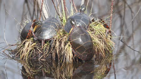 toad : Painted Turtles (Chrysemys picta) sunning themselves with Wood Frogs (Rana sylvatica) calling in the backround