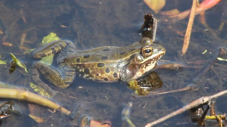 toad : New Sub-species of Leopard Frog (Lithobates sphenocephalus) found in NJ calling in Spring to attract a mate Stock Footage