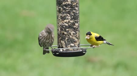 alimentador : American Goldfinches (Carduelis tristis) perched on a feeder with a green background Stock Footage