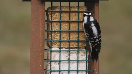 downy woodpecker : Downy Woodpecker (Picoides pubescens) on a suet feeder Stock Footage