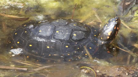 réptil : Spotted turtle (Clemmys guttata), sunning himself Stock Footage