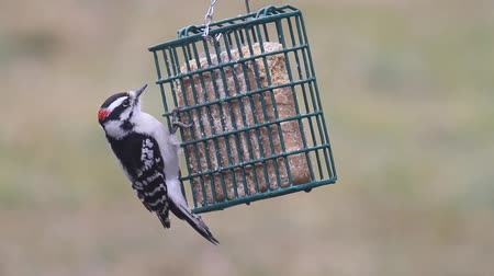 ave canora : Downy Woodpecker on a Suet Feeder