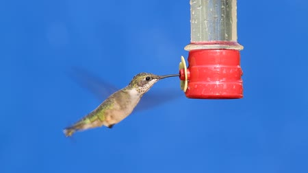 hummingbird : Juvenile Ruby-throated Hummingbird (archilochus colubris) in flight at a feeder with blue background