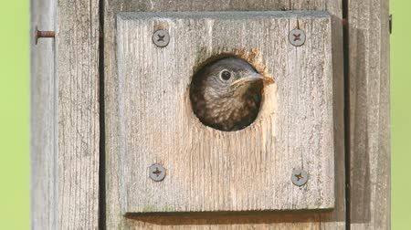 ave canora : Baby Eastern Bluebird (Sialia sialis) leaving the nest for the first time
