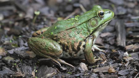 toad : Green Frog (Rana clamitans) sunning near a pond