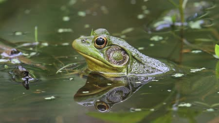 toad : Green Frog (Rana clamitans) in a Pond Stock Footage