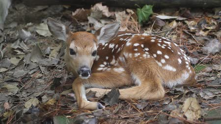 олень : White-tailed Deer (Odocoileus virginianus) Fawn just a little over an hour old