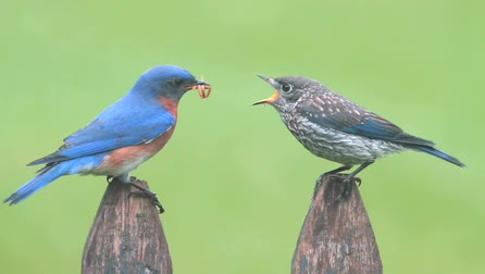 голодный : Male Eastern Bluebird (Sialia sialis) feeding a hungry baby on a fence