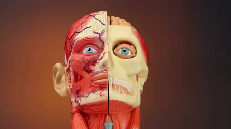 çene : Human Anatomy - The muscles, blood vessels, bones and brain in the human head
