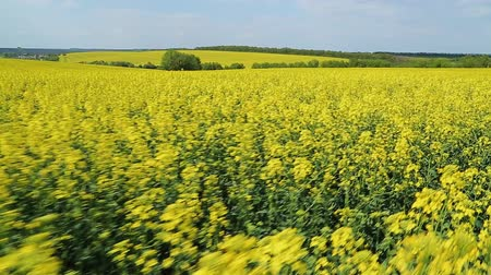canola seeds : Blooming canola field