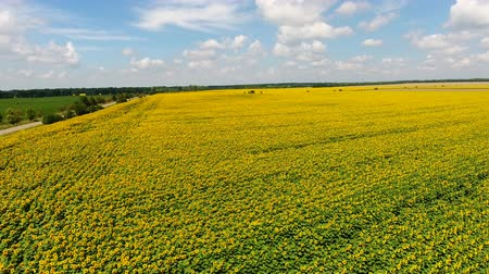 Aerial shooting field of sunflowers in summer