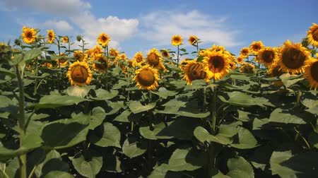 enviroment : field of sunflowers against the background of clouds