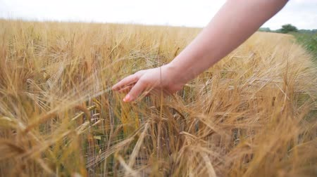 female hand touching a golden wheat ear in the wheat field Dostupné videozáznamy