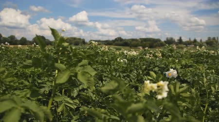 Large field of potato plants in bloom. Blue sky background. tracking shot