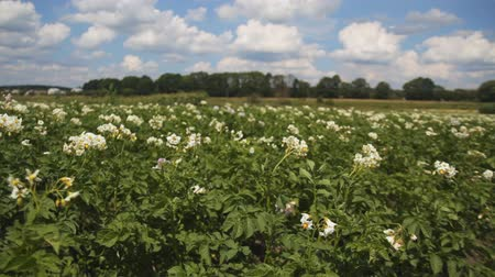 large white flowering potatoes in the garden. steadycam shot