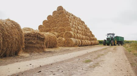 The tractor rides the field near round bales of straw. Pyramid of straw bales.