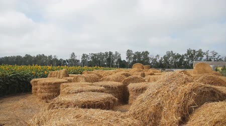 balé : large round bales of hay on a farm near the field of sunflowers. camera tracking Stock Footage