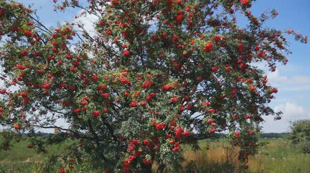 rowanberry : a large tree in a field of red rowan. steadycam shoot