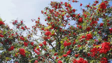 семена : large bunches of red berries of mountain ash. steadycam shoot Стоковые видеозаписи
