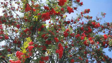tincture : branches of red mountain ash with berries on blue sky background. Rowan-tree.