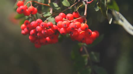 sorbus : Bunch of red rowan berries in the wind. sunlight.